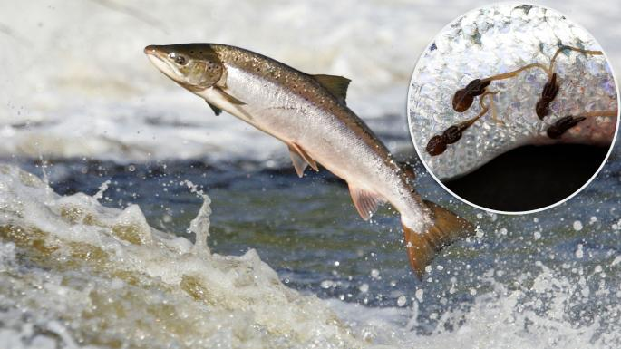Sea Lice Infested Salmon